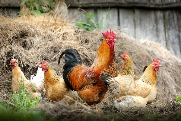 Chicken Farming in South Africa