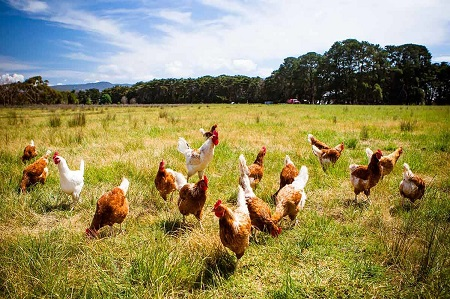 Farming with Chickens in SA - How to Start
