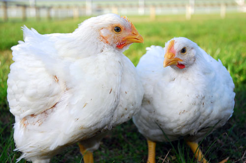 Farming with Broiler Chickens